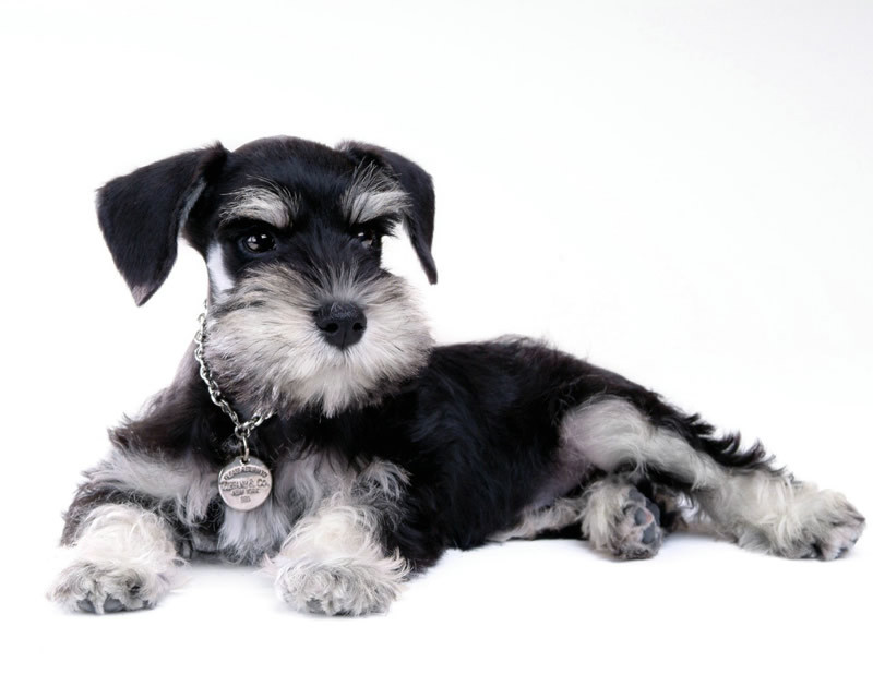 迷你雪纳瑞训练方法教程 迷你雪纳瑞狗训练视频教学 狗民学院