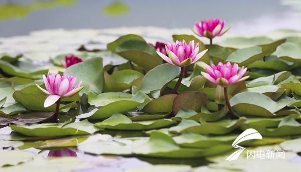 如果说荷花开的奔放热情,那么湿地的睡莲便是谦谦君子,五月初,睡莲便静悄悄的伸出花蕾,随着日出盛开,日落闭合.图片
