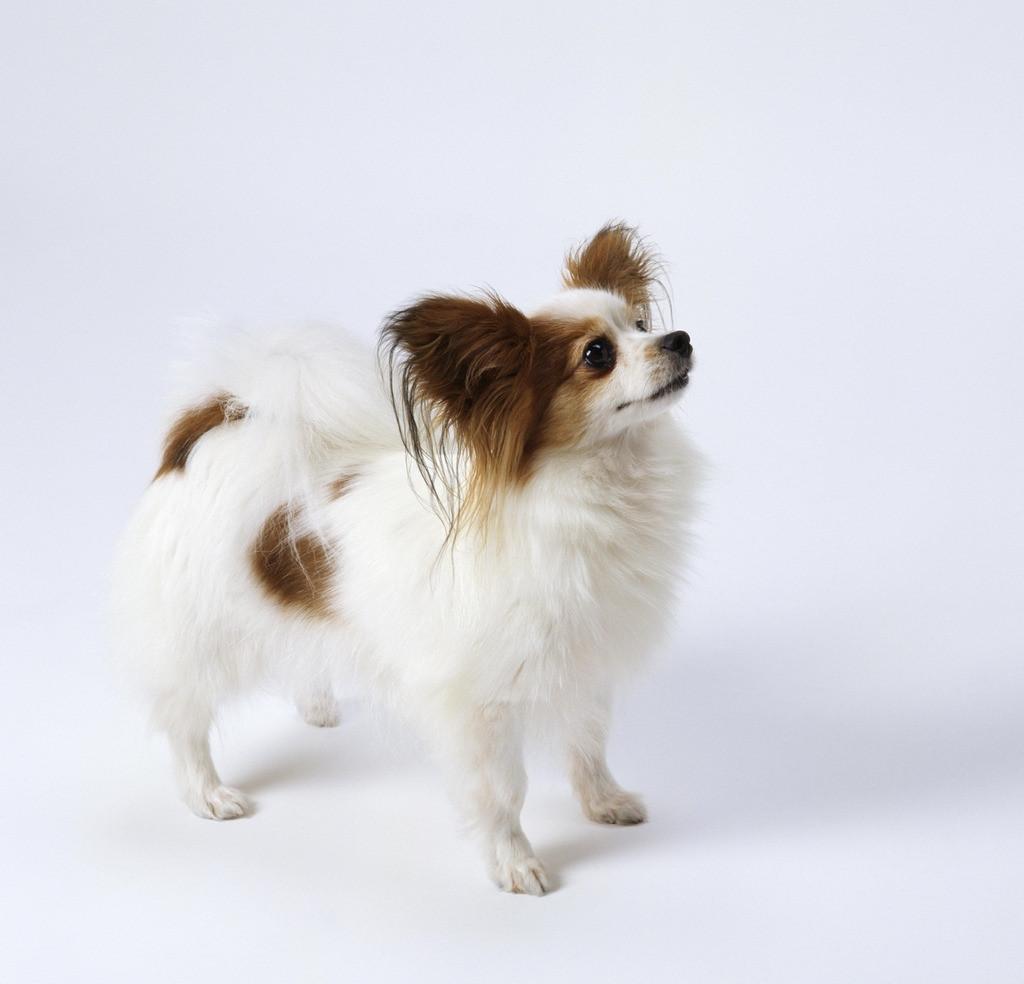 图:蝴蝶犬