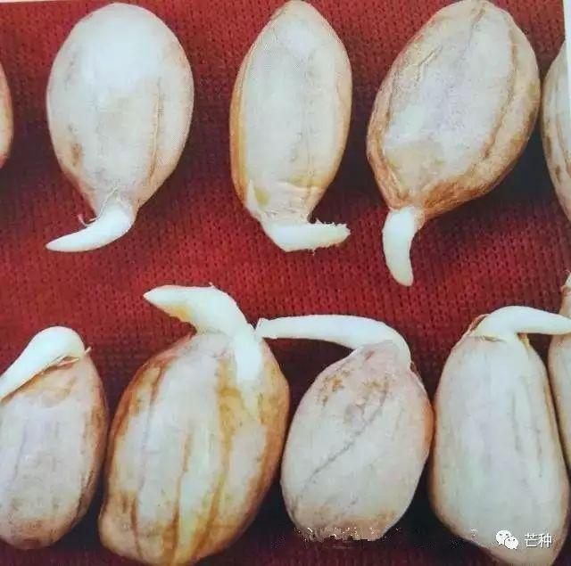 种子_24张图记录从种子到落花生的全过程!