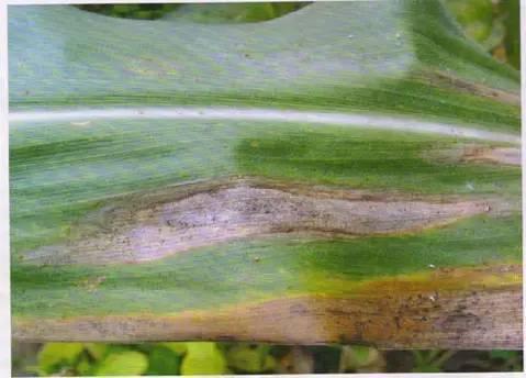 玉米十大常見病害與防治攻略