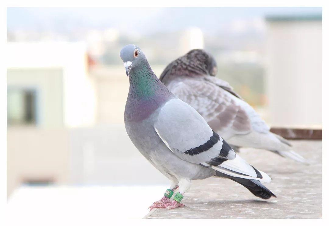 鸟类鸽鸽子鸟蜜蜂1080_743种子仔动物下载图片
