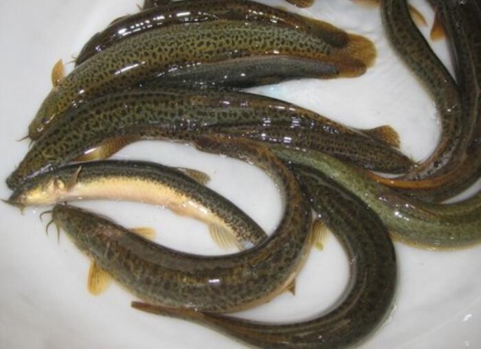 本地泥鳅养殖技术_泥鳅鱼苗养殖技术_泥鳅养殖需要哪些技术