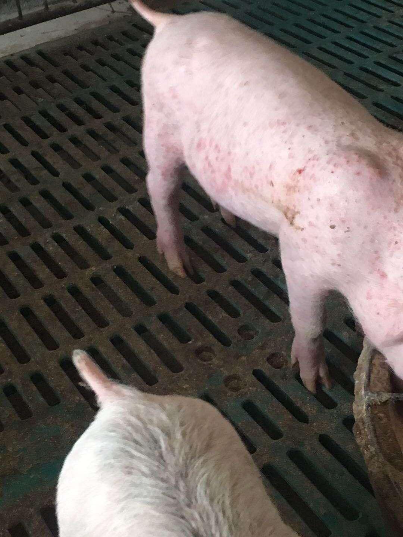 猪圆环病毒治疗_猪圆环病毒病与猪瘟混感,到底对猪场危害多大,看完就知道了