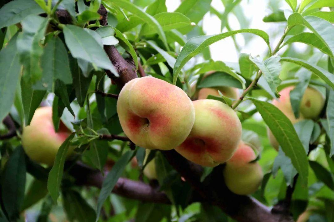 马谷田果肉鲜红、脆甜的朱砂红桃熟了(图18)