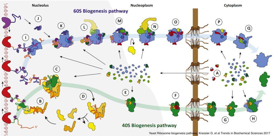 关于核糖体翻译过程中的结构研究日趋完善,但对核糖体组装过程的研究图片