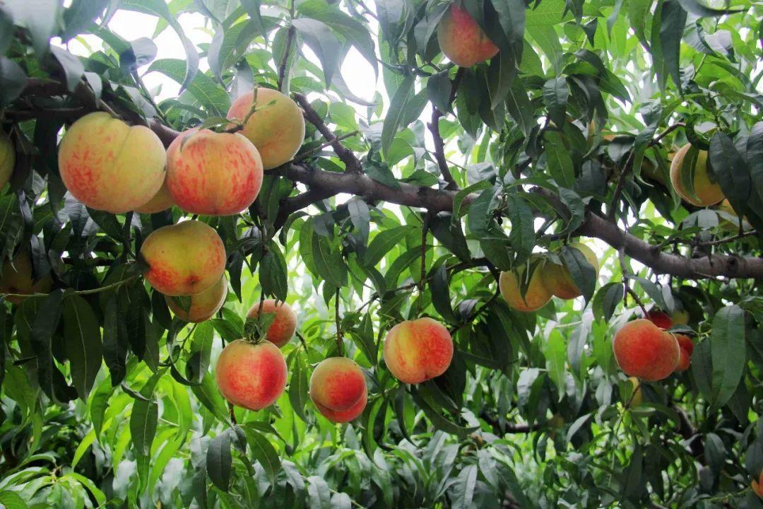 马谷田果肉鲜红、脆甜的朱砂红桃熟了(图2)