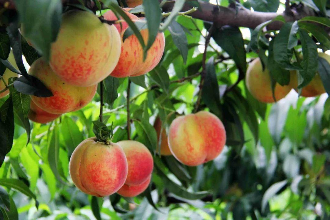 马谷田果肉鲜红、脆甜的朱砂红桃熟了(图13)