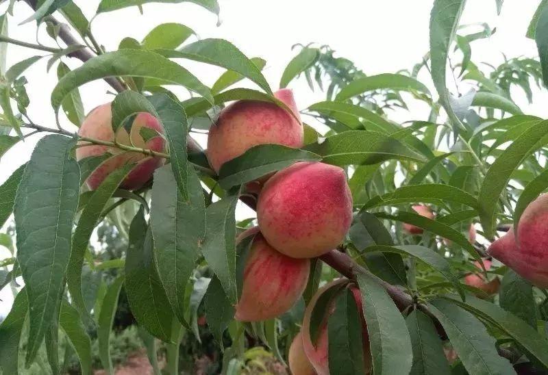 马谷田果肉鲜红、脆甜的朱砂红桃熟了(图9)