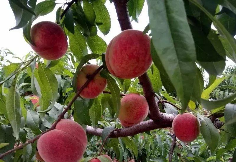 马谷田果肉鲜红、脆甜的朱砂红桃熟了(图8)