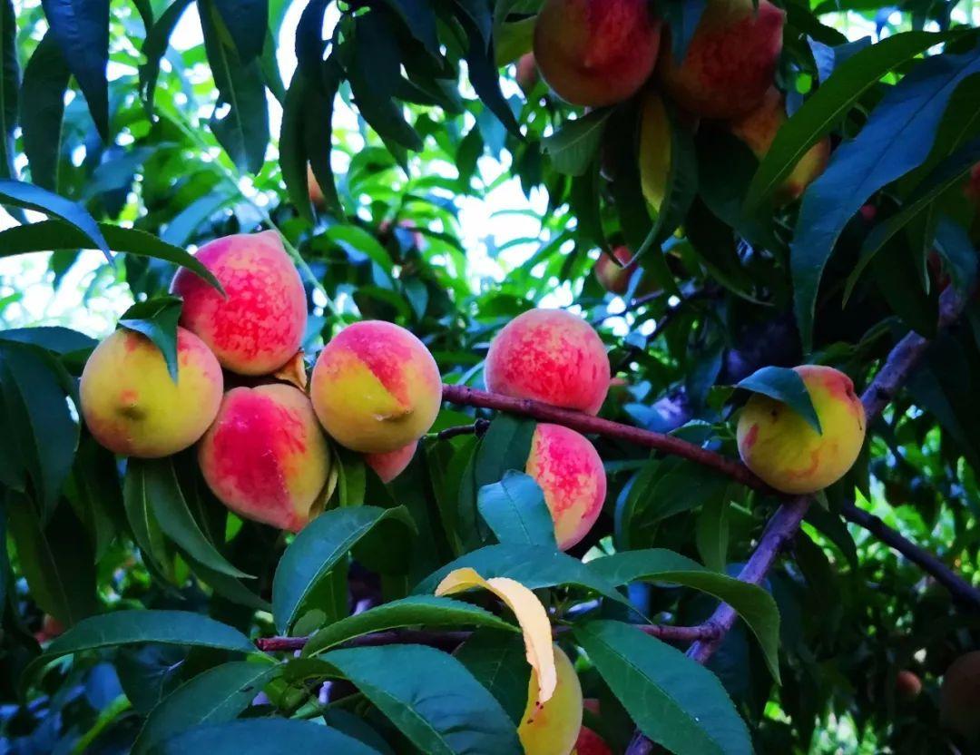 马谷田果肉鲜红、脆甜的朱砂红桃熟了(图5)