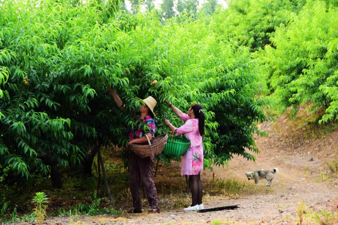 马谷田果肉鲜红、脆甜的朱砂红桃熟了(图14)