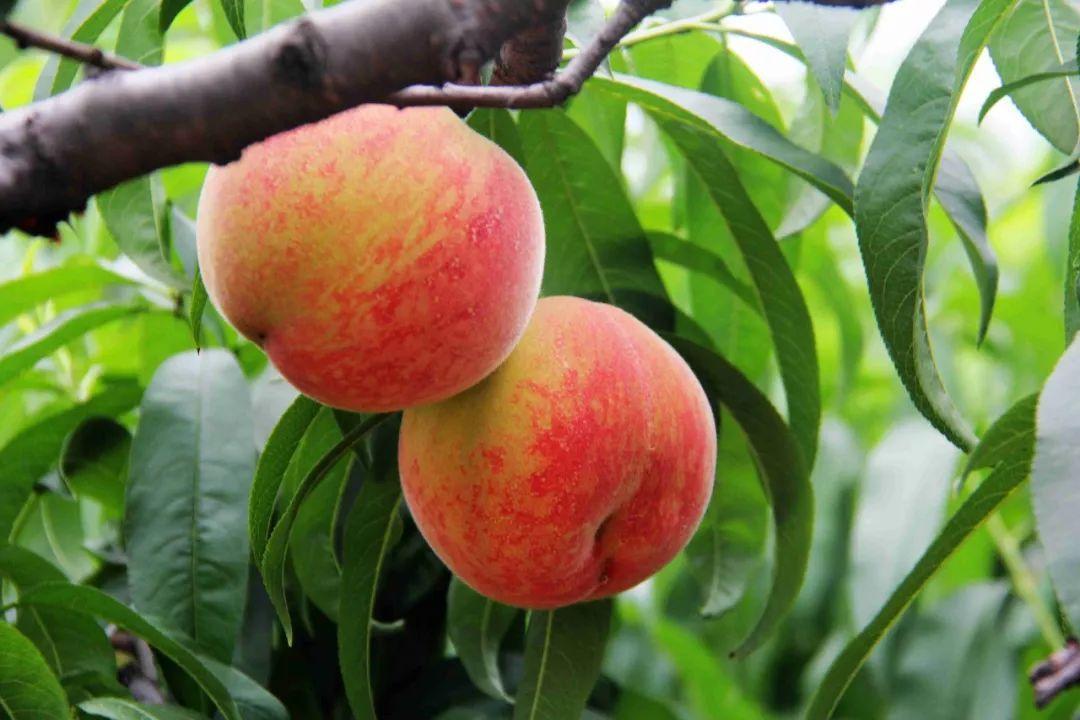 马谷田果肉鲜红、脆甜的朱砂红桃熟了(图12)