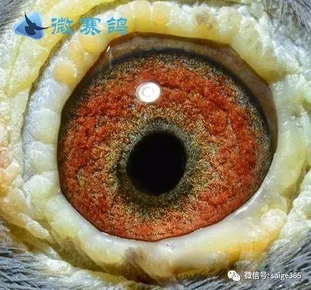 赛鸽眼砂的鉴别