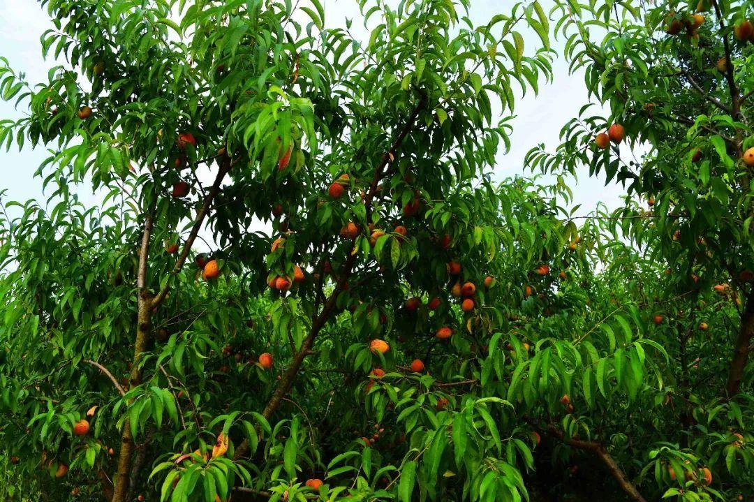 马谷田果肉鲜红、脆甜的朱砂红桃熟了(图7)