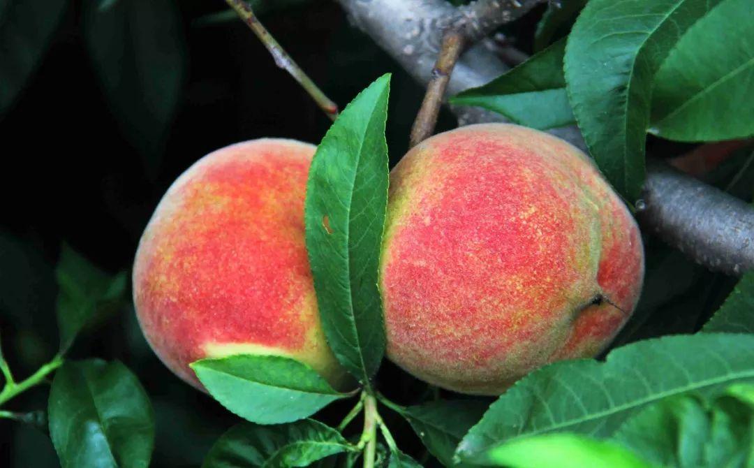 马谷田果肉鲜红、脆甜的朱砂红桃熟了(图3)