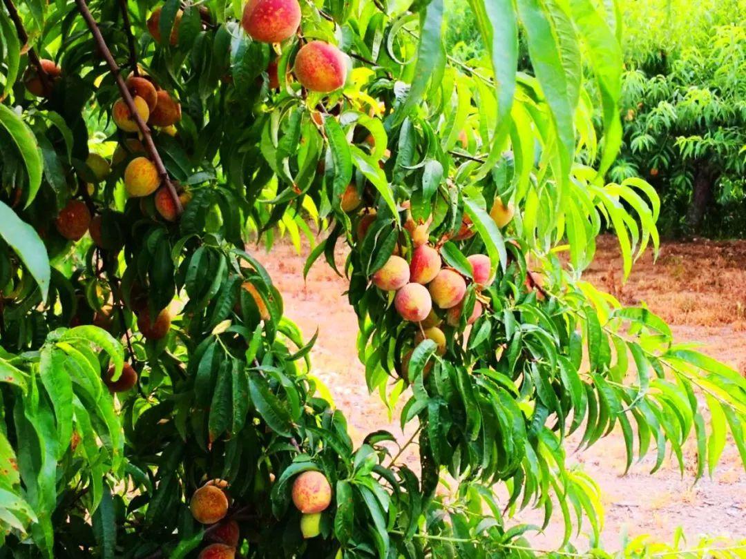 马谷田果肉鲜红、脆甜的朱砂红桃熟了(图4)