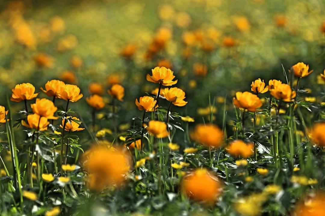 这个夏天就去新疆,看看满山遍野的金莲花解暑吧