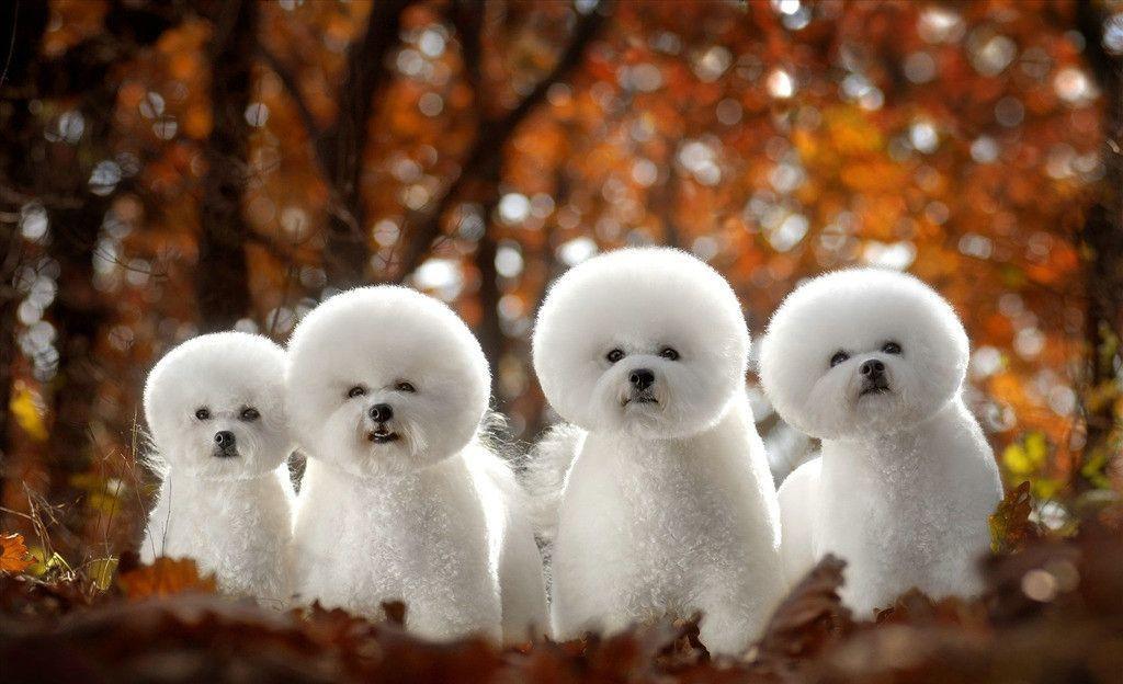 小型犬的品种及图片 什么狗最干净最好养