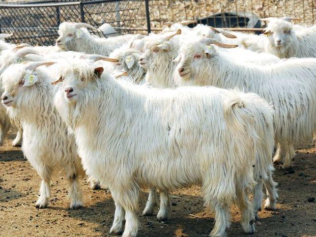 德绒山羊_【海西要闻】海西州召开青海柴达木绒山羊基因组选育研讨会 专家研讨