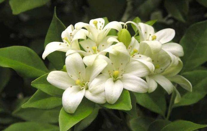 如皋市境内常见的双子叶植物门,合瓣花亚纲 (二)图片