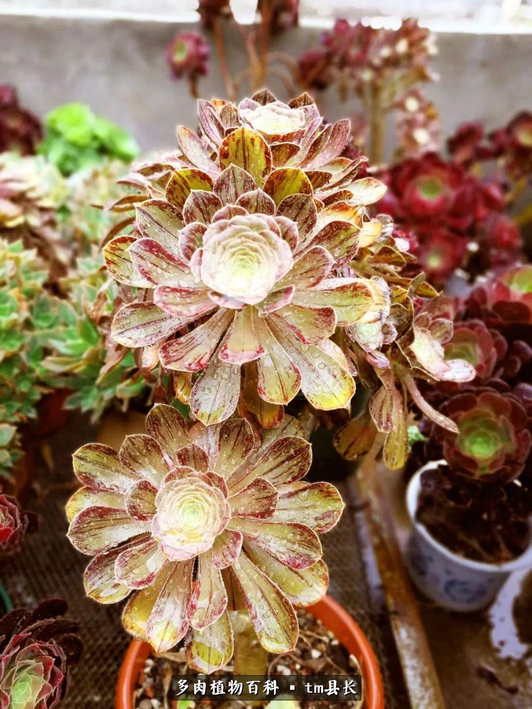 富士多肉植物图片