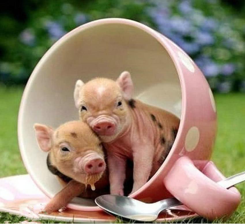 4张迷你猪的