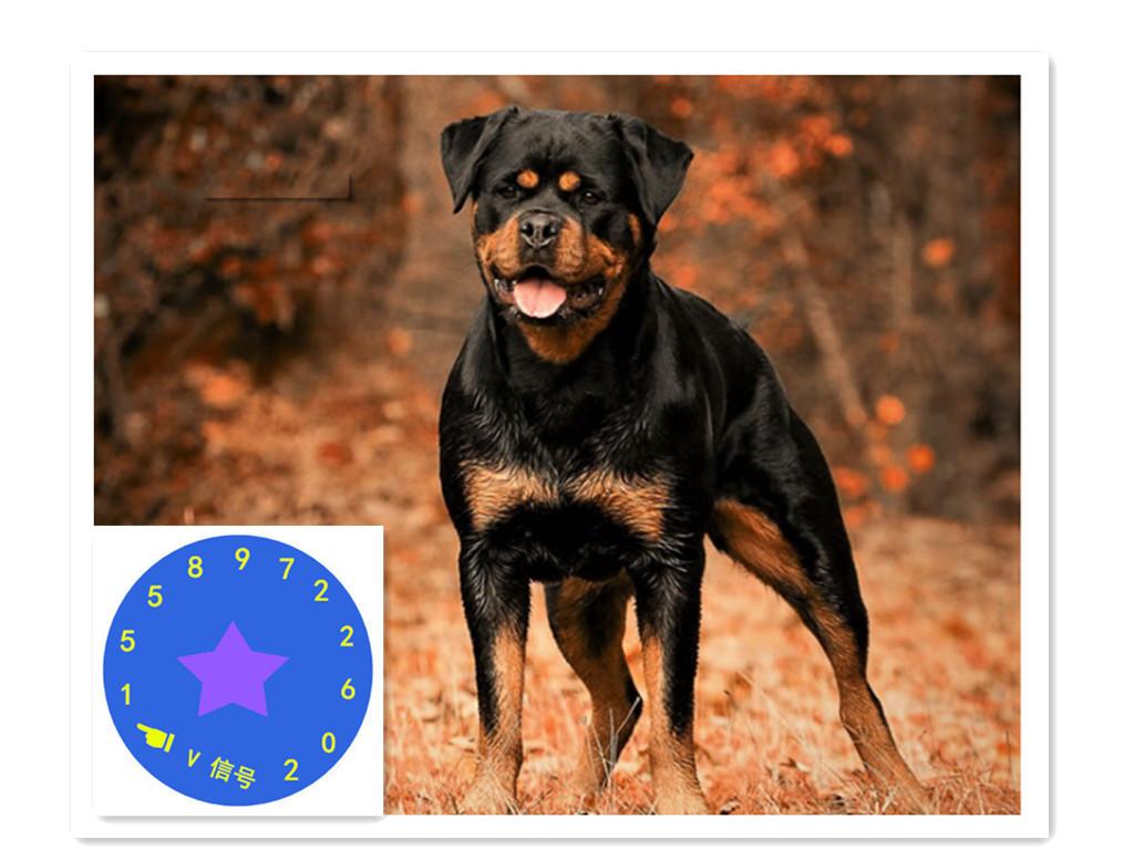 纯种美系罗威纳犬大狗是从美国带来的-保定罗威纳