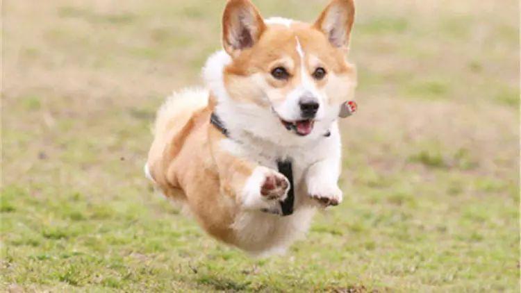 小短腿柯基,奔跑起来的姿势优美