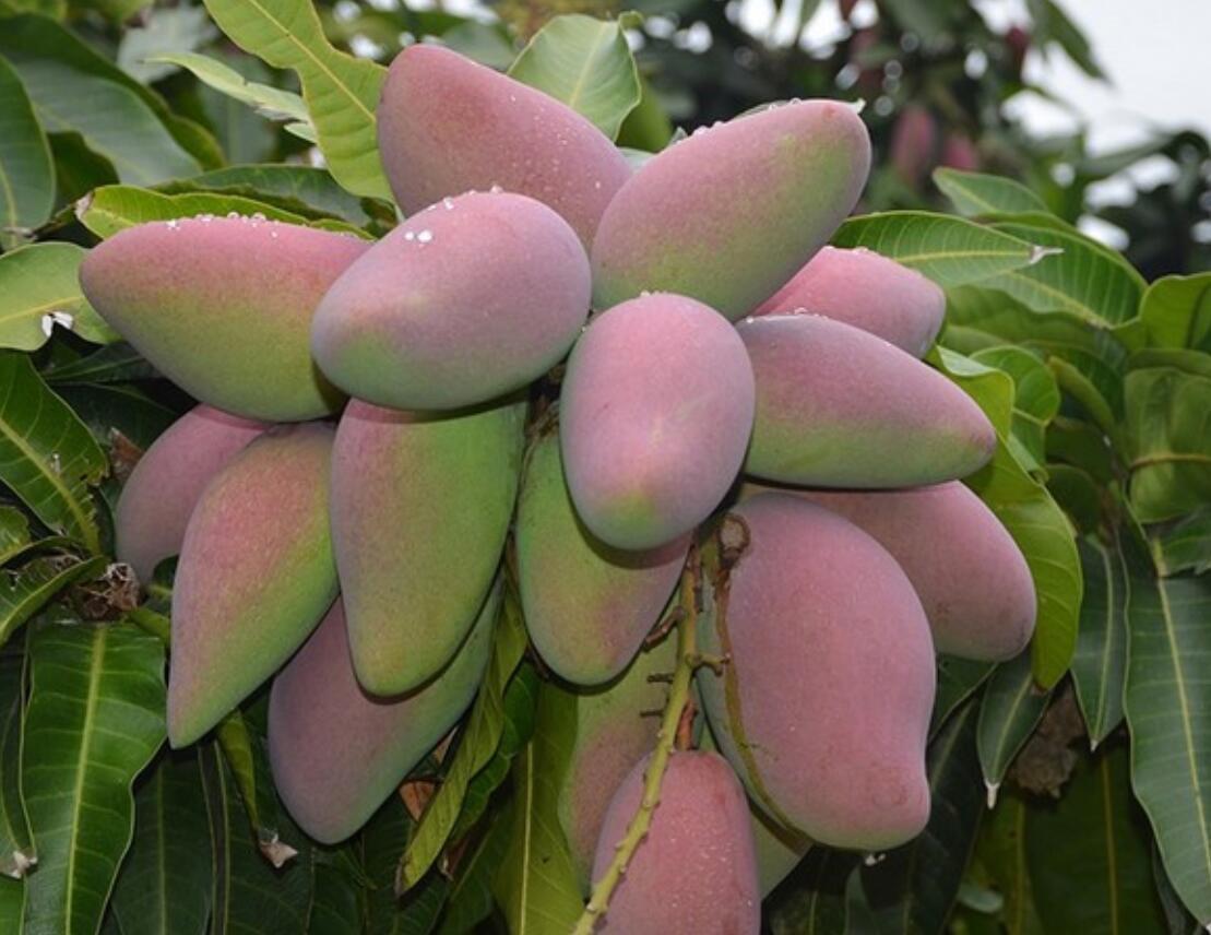 芒果种植条件是什么?攀枝花芒果种植五要素