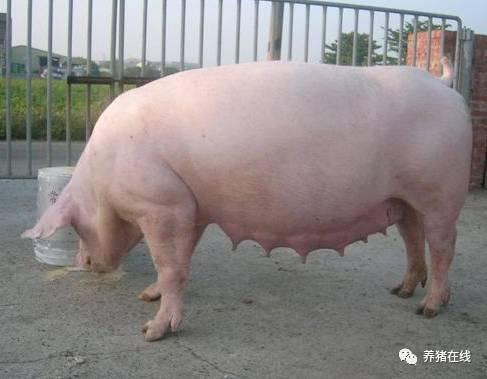 此类患病的母猪经常从阴道内流出多量白色粘性分泌物:尾根,会阴部图片