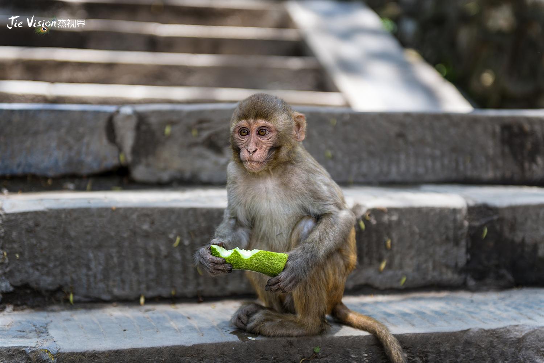 猴子为什么跟人�y.b9`�_猴子\