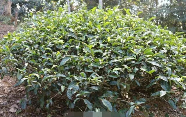 黄栀子麻茶的作用原理是什么_黄栀子的功效与作用