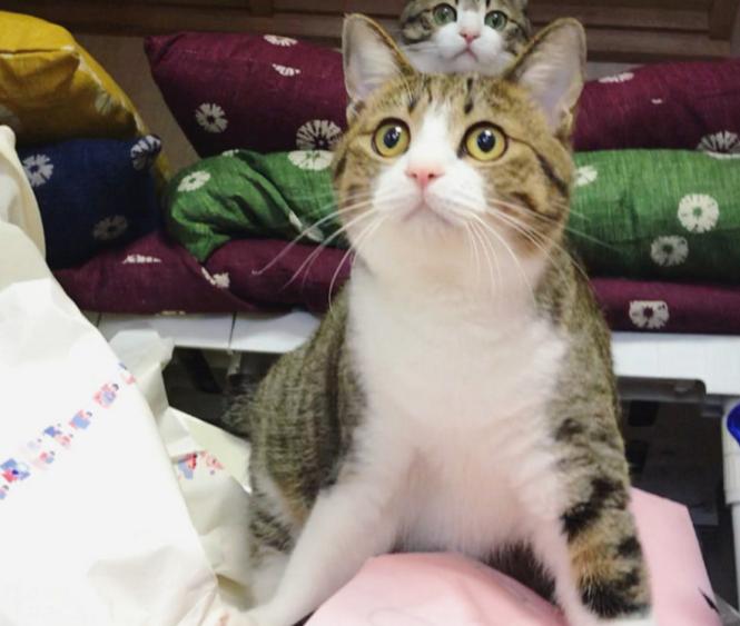 2秒钟瞬间叠罗汉,猫咪兄弟一家萌翻了,真想掐它们的脸图片