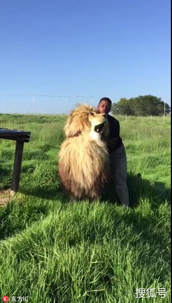 狮子腻着饲养员享受求摸摸撒娇梳毛v狮子爽歪歪sa鲨鱼图片