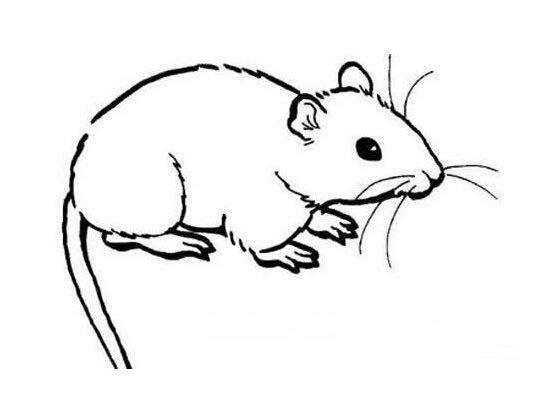 小老鼠简笔画:长尾巴老鼠   [小老鼠简笔画]