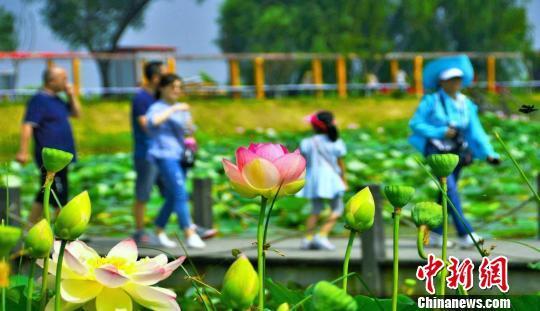安徽淮南焦崗湖國家濕地公園千畝荷花綻放