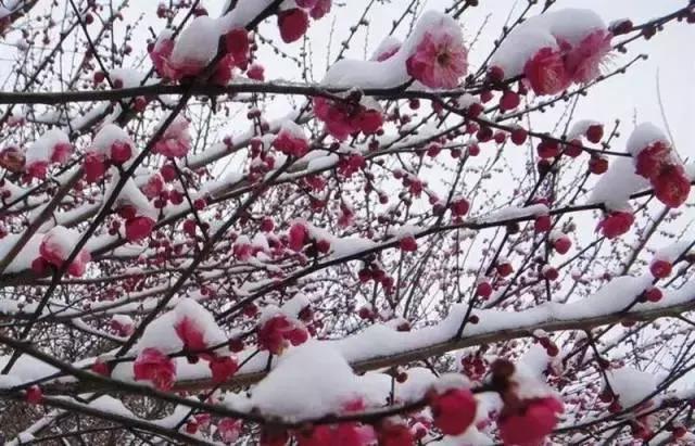 美文美图周延锋:凌寒独自开,高风亮节傲立雪中(梅花美图片