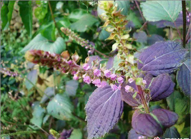 夏季用这种叶子泡茶喝散寒解毒、降压降脂!阳台就能种