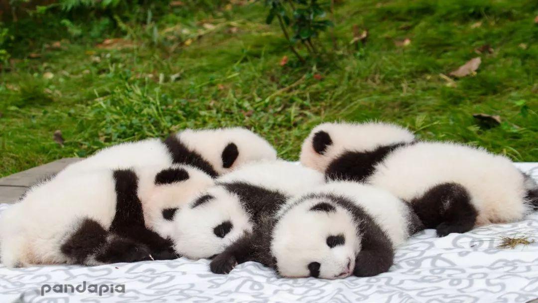 他们用12年时间,让中国年轻人真正爱上了大熊猫,也向|