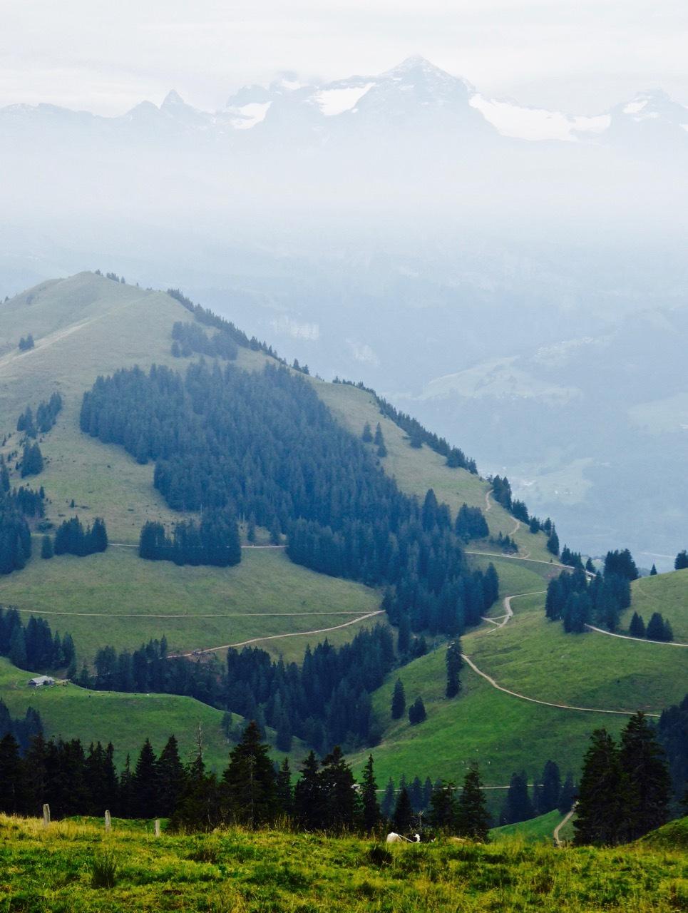 高原牧场遇见高颜值的瑞士牛,幸福