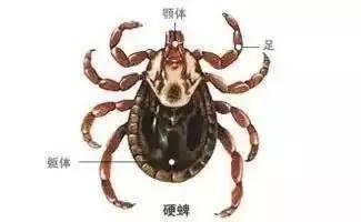 蜱虫勹d�9������/)9b_襄阳入春以来40多人被蜱虫咬伤!严重可致命!