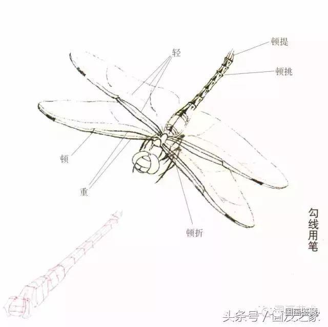 蜻蜓的工笔及写意画法,太全面了
