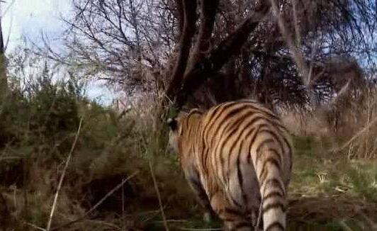 最大的猫科动物,巨虎身长4米重1600斤