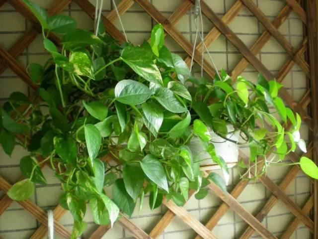 绿萝叶子老黄?家里绿萝的正确浇水方法和浇水频率!图片