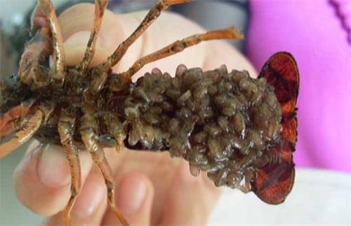 小龙虾虾线怎么挑出来_小龙虾是虾吗_炸过小龙虾的油还能用吗