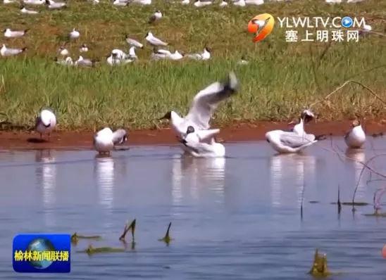 榆林神木红碱淖水位回升 遗鸥数量增到8000多只