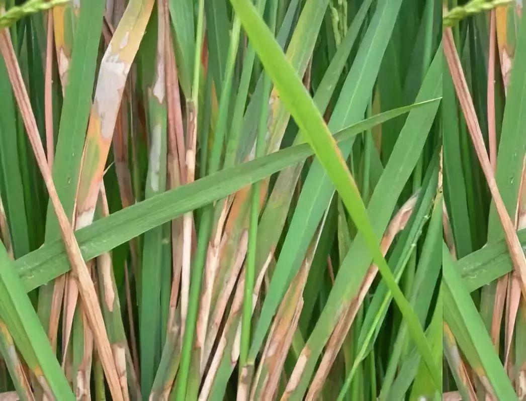 水稻图片大全大图