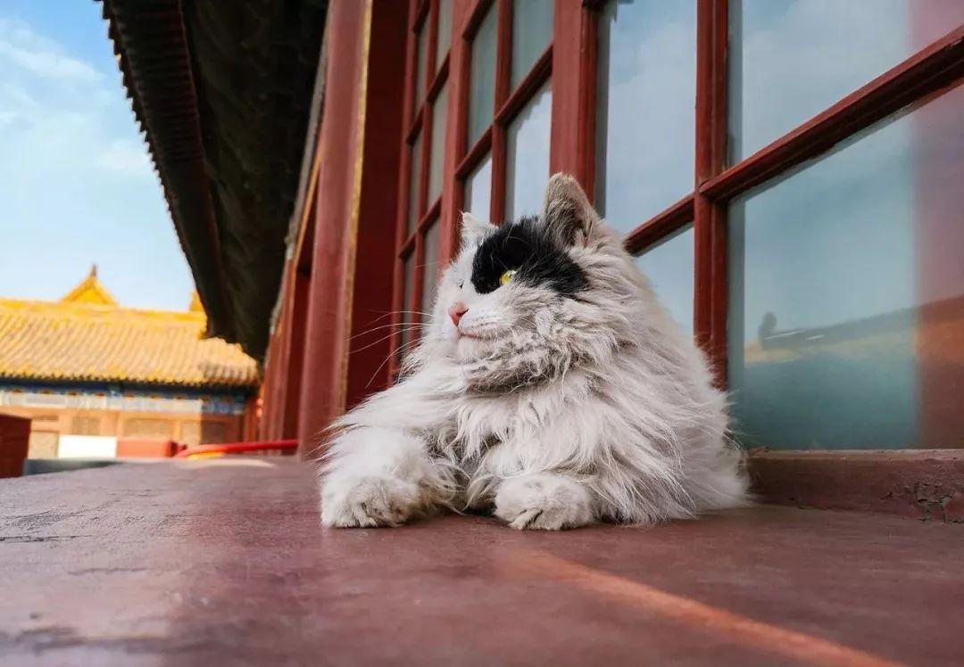 近年来,越来越多的故宫网红猫出现在大家伙儿的视线 photo by@宠物