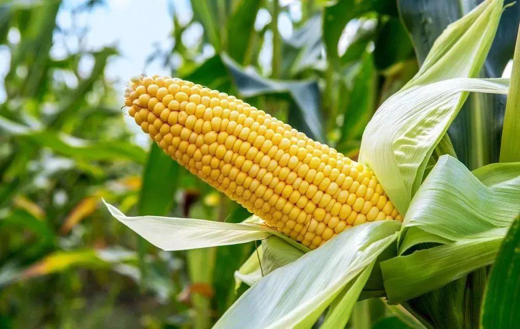 玉米茎粗_玉米的生长过程什么样啊
